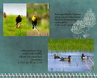 "September of the 2012 Birds of a Feather Calendar.  These two photos are called ""Blackbirds with attitude"" and ""Wood Duck and Ring-Necked Ducks"" which shows a male ring-necked duck (Aythya collaris) seems to be eyeing a wood duck (Aix sponsa) that is swimming by on a pond while a female ring-necked duck looks away.  A grassy marsh is in the background."