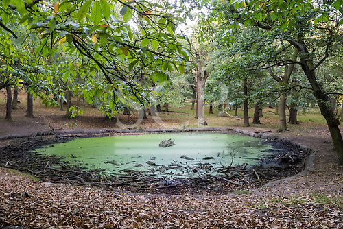 Richmond Park, London, United Kingdom. pond with low water level, covered in green algae with dead branches.