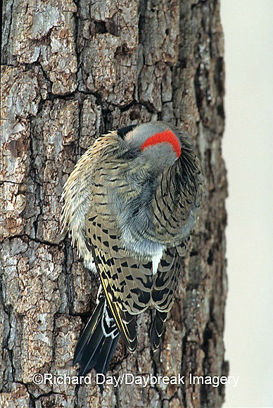 01193-01108 Northern Flicker (Colaptes auratus) male keeping warm in winter, Marion Co.   IL
