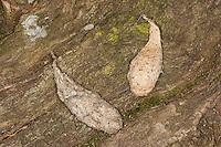 Turmfalke, Turm-Falke, Falke, Gewölle aus Fell, Haaren, Falco tinnunculus, Kestrel, Faucon crécerelle