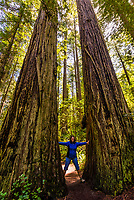 Massive redwood tress along the Lady Bird Johnson Grove trail in Redwoods National Park, near Orick, California USA.