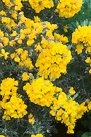 Ulex europaeus 'Flore Pleno' (Gorse) AGM, double flowered yellow gorse in bloom