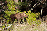 Moose Calf, Yellowstone National Park.