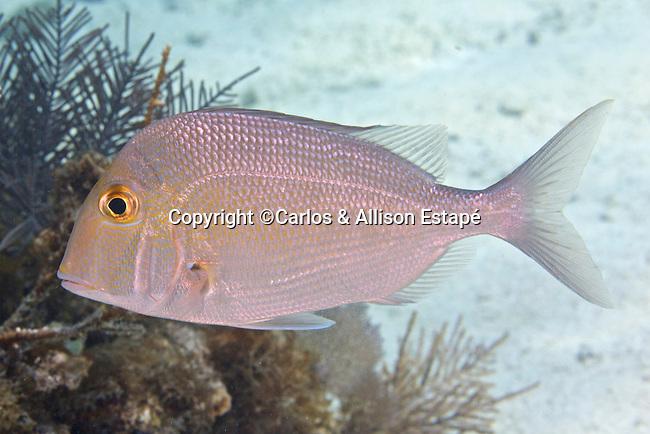Calamus calamus, Saucereye porgy, Florida Keys