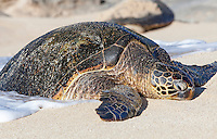 A Hawaiian green sea turtle (honu) resting on Papa'iloa Beach, North Shore, O'ahu.