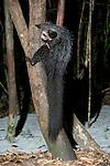 Aye-aye, Daubentonia madagascariensis, Ankanin'ny Nofy, Madagascar, semi captive, unusual primate, Near Threatened on the IUCN Red List, and listed on Appendix I of CITES