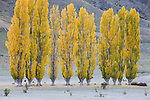 Poplar trees is fall colors, Central Otago, South Island, New Zealand