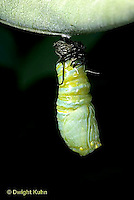 MO06-011z  Monarch Butterfly - caterpillar molting and forming chrysalis - Danaus plexippus