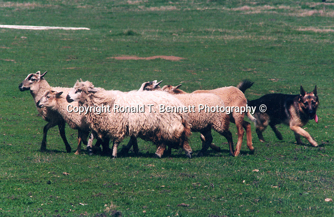 German sheperd sheepdog works sheep herd, Shepherd, German shepherd, sheepdog, heep,commands from handler, trained herding dog, domestic sheep, livestock, mouflon, fleece, mutton, wool, lamp, flock, Ovis aries, artiodactuyla, Fine Art Photography, Ronald T. Bennett (c) Fine Art Photography by Ron Bennett, Fine Art, Fine Art photography, Art Photography, Copyright RonBennettPhotography.com ©