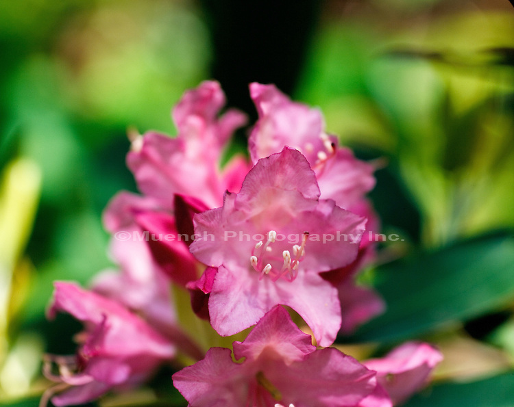 Rhododendron, Laurel Falls, Pond Mountain Wilderness