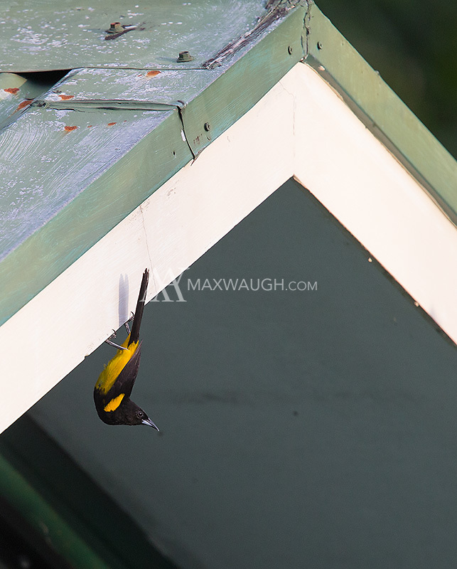 A Black-cowled oriole hangs out at La Selva Biological Station.