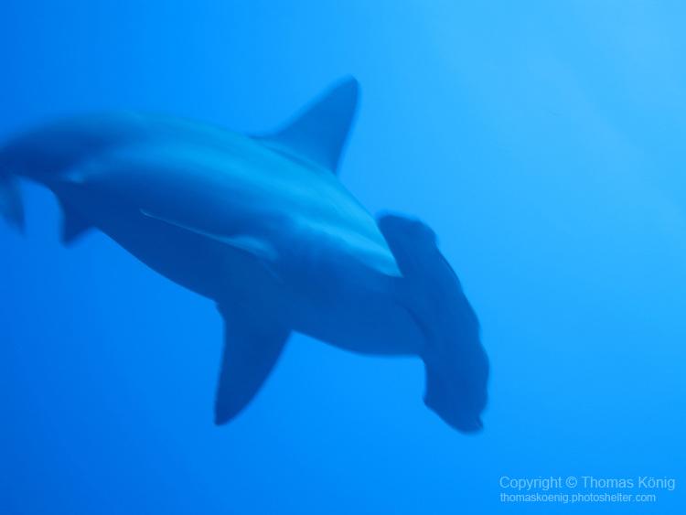 Gun Shui Bi, Green Island -- A scalloped hammerhead shark swooping down to take a curious look at the photographer.