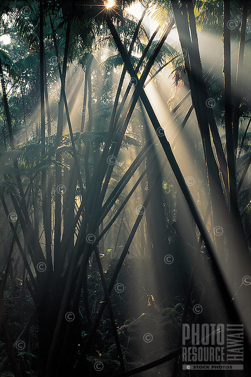 Rays of light stream through the rainforest at Hawai'i Volcanoes National Park, Big Island of Hawai'i.