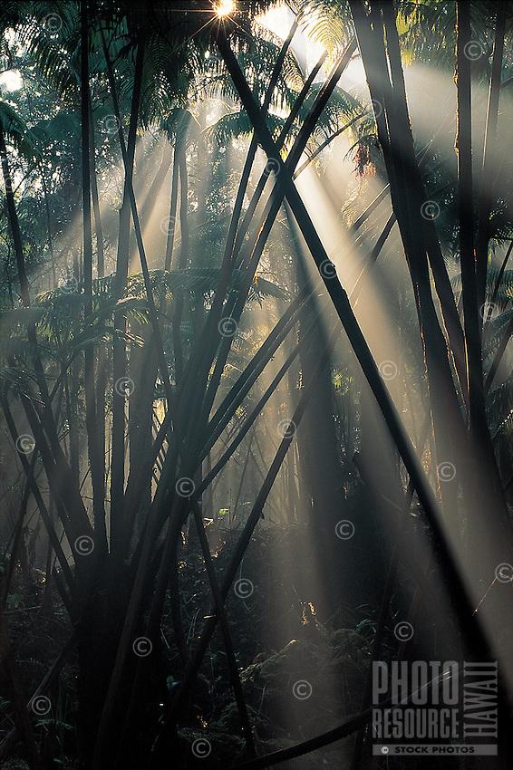 Rays of light stream through the rainforest at Hawai'i Volcanoes National Park, Big Island of Hawai'i.