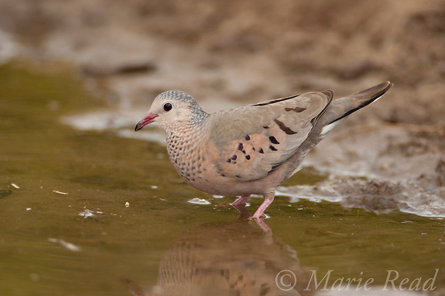 Common Ground-Dove (Columbina passerina), about to drink from pool of water, Texas, USA