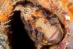Tompot Blenny (Parablennius gattorugine) under Swanage pier, Dorset, United Kingdom