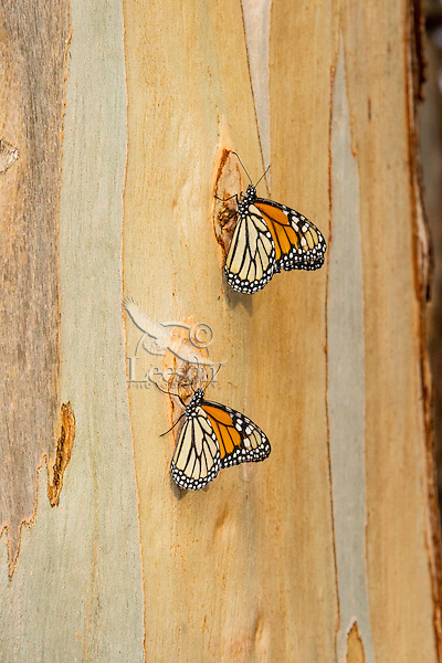 Two Western Monarch Butterflies (Danaus plexippus) on the side of a Eucalyptus tree, coastal California.  Winter.
