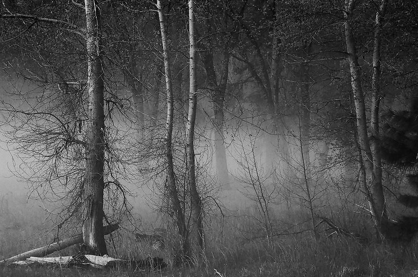 Trees in Fog , Yosemite ,  35mm image on Ilford Delta 100 film