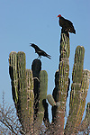 Vocalizing raven and turkey vulture on cardon cactus.