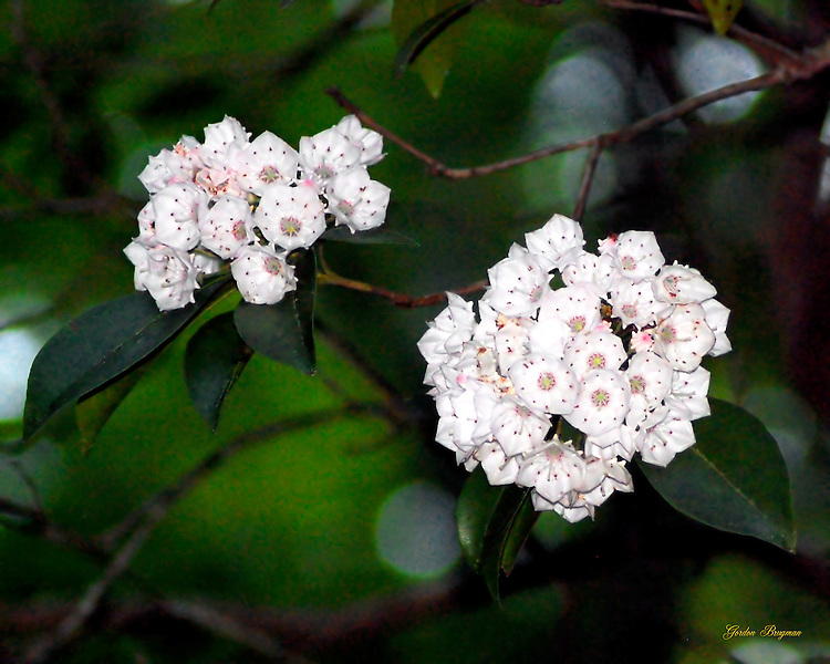 Mountain Laurel blooms.