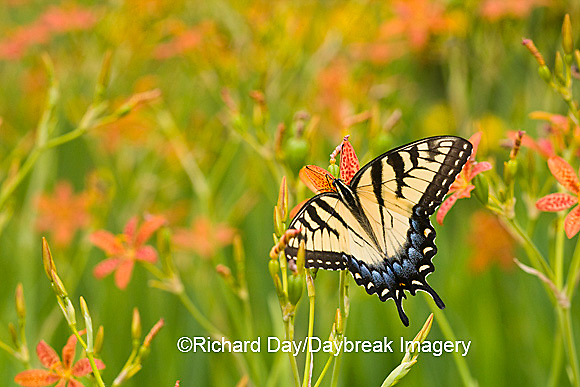 03023-02516 Eastern Tiger Swallowtail (Papilio glaucus) on Blackberry Lily (Belamcanda chinensis)   Marion Co.  IL