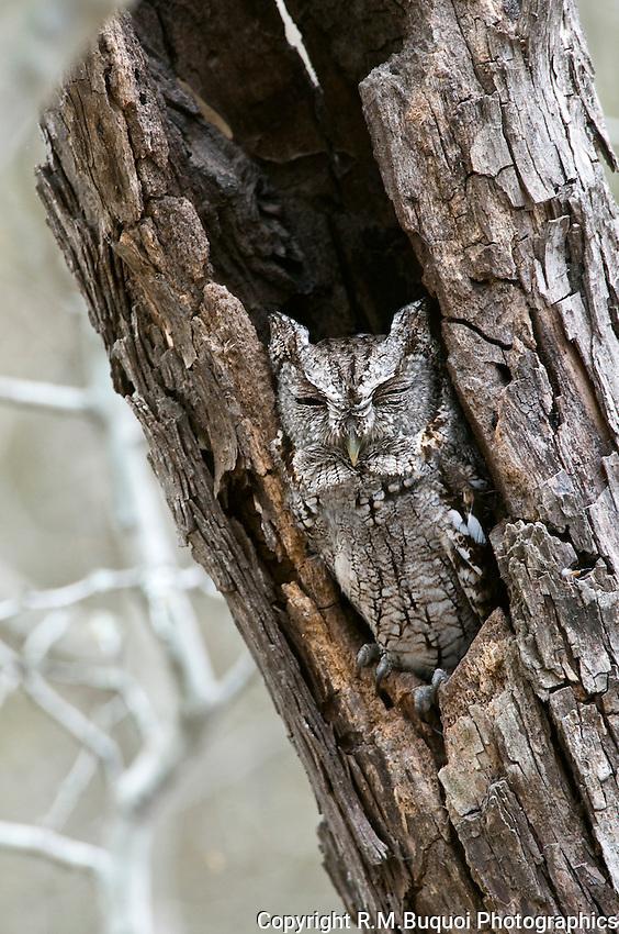 Eastern Screech Owl asleep in a dead tree