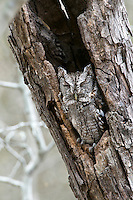 Eastern Screech Owl asleep in a dead tree