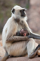Indian Langur monkeys, Presbytis entellus, female and baby feeding  in Ranthambore National Park, Rajasthan, India