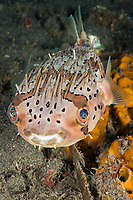 Balloon Porcupinefish, Diodon holocanthus, Lembeh Strait, North Sulawesi, Indonesia
