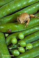 1C01-052z  Ladybug being watched by predator - spring peeper frog - on green peas