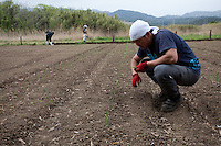Seiji Kanari (right) the leader of the Arigato Farm project working in the fields.  Ogawa Machi, Iwaki, Fukushima, Japan. Sunday May 6th 2012