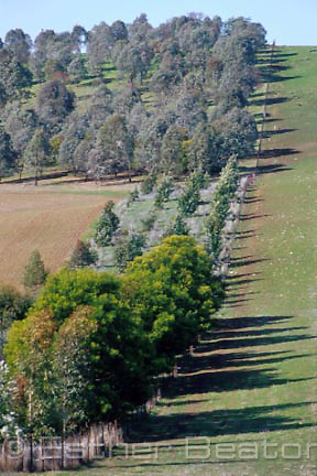 Strip tree-planting on hilltop and perimeter of farmland, grazing land. Riverina area of NSW.