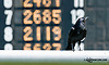 crow at Delaware Park racetrack on 6/18/14