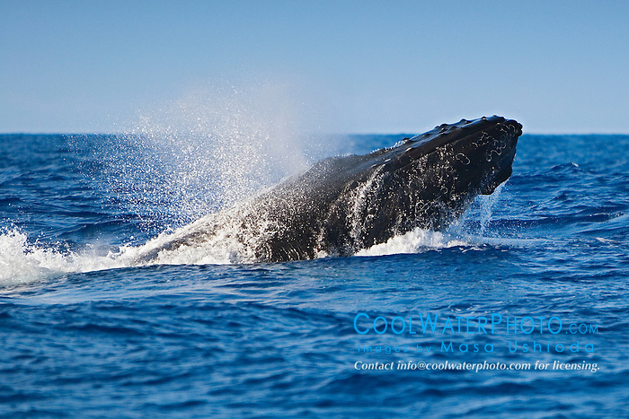 Humpback Whale in competitive group, head-lunging, Megaptera novaeangliae, Big Island, Hawaii, Pacific Ocean