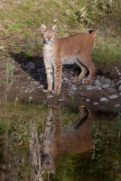 Siberian Lynx standing on the edge of a pond with reflection - CA