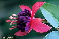 HS71-001c  Flower Reproduction - Fuchsia - stamens, pistil, perfect flower-  Fuchsia spp