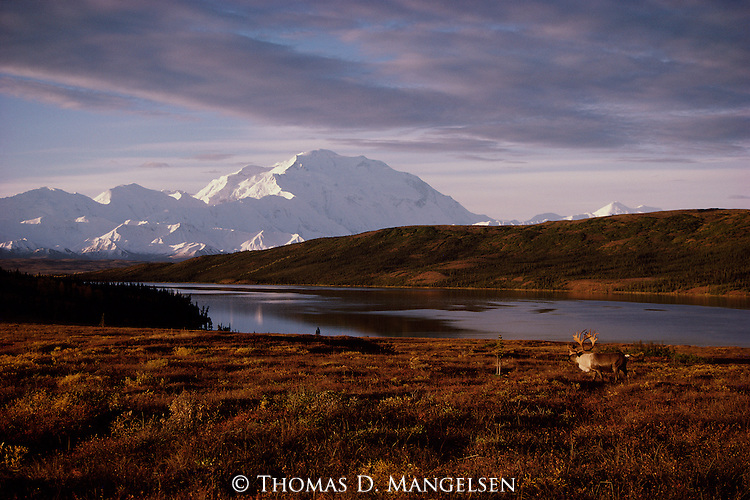 A bull caribou is back dropped by Mt. McKinley in Denali National Park, Alaska.