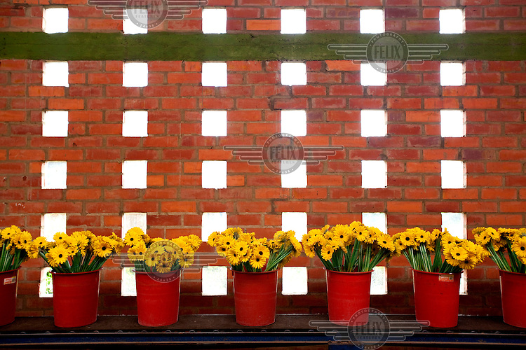 Buckets of yellow Gerberas in a post-harvest building in MG Consultores, a flower plantation in Chia.