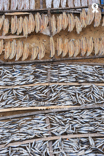 Drying fishes on on wire Fencing (Licence this image exclusively with Getty: http://www.gettyimages.com/detail/93187583 )