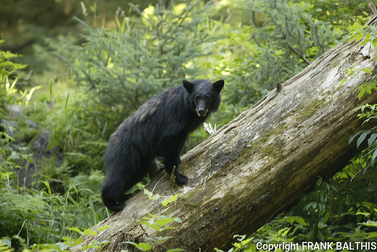 Black bear climbing fallen tree at Anan Creek