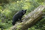 Black bear climbing fallen tree at Anan Creek