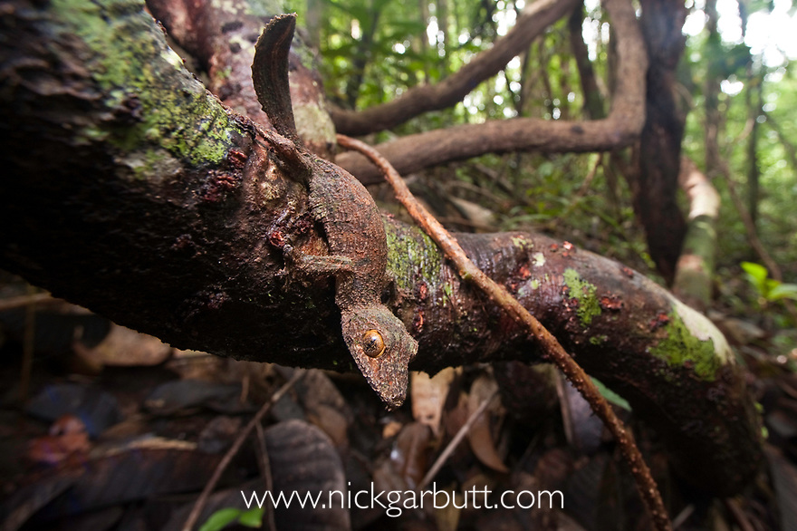 Mossy Leaf-tailed Gecko (Uroplatus sikorae) in rainforest understorey. Masoala National Park, north east Madagascar.