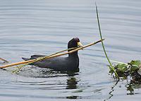 Andean Coot, Fulica ardesiaca, gathering nesting material on San Pablo Lake, Ecuador