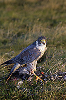 527952528 a captive peregrine falcon falco peregrinus a falconers bird stands over a bird it recently killed in southern california species is federally endangered