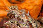 Nudibranch (Glossodoris cincta)