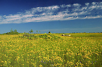 Field of  common Saint John's wort<br /> Manitoulin Island<br /> Ontario<br /> Canada