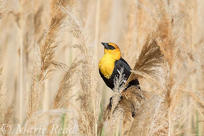 Yellow-headed Blackbird (Xanthocephalus xanthocephalus) male displaying, Bear River Migratory Bird Refuge, Utah, USA.
