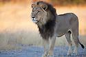 Botswana, Okavango Delta, Moremi; male lion
