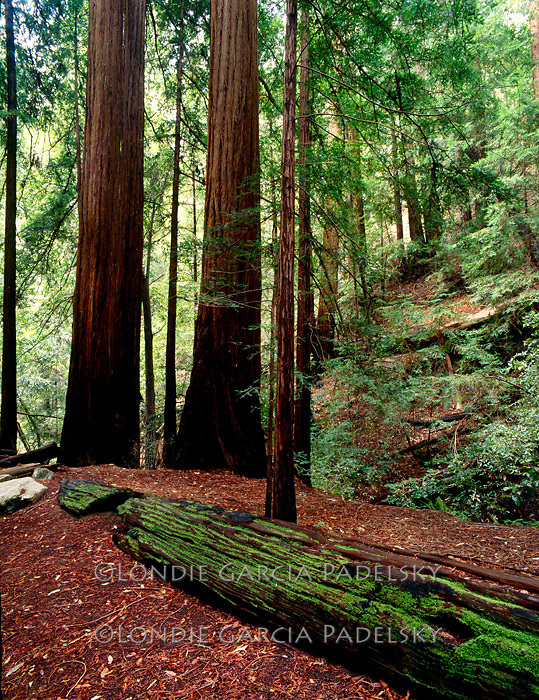 Redwoods at Pfeiffer Big Sur State Park, Highway 1 on the Central Coast of California