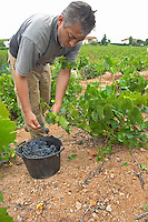 Harvest workers picking grapes. Gamay. Domaine Tracot Dubost, Beaujolais, France